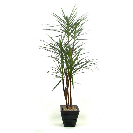 6 head Dracaena natural stem web image 2