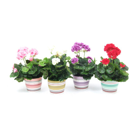 Geraniums in striped pots web image