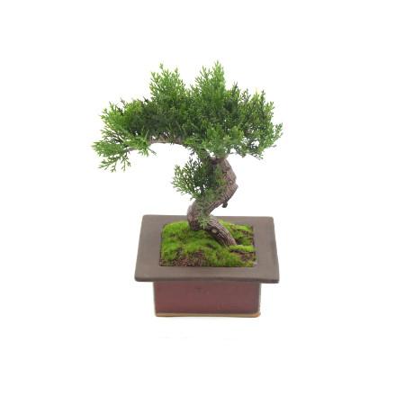 Bonsai single web