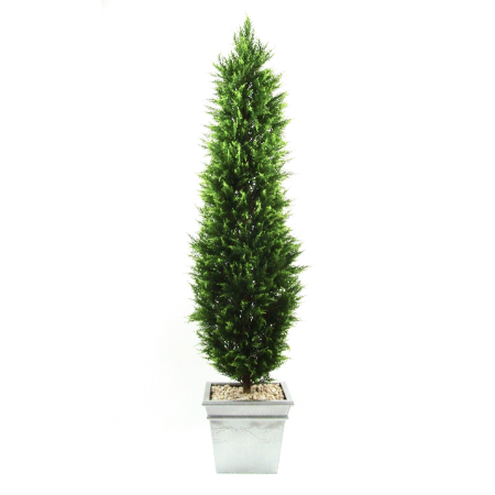 Cyprus tree 18 metre