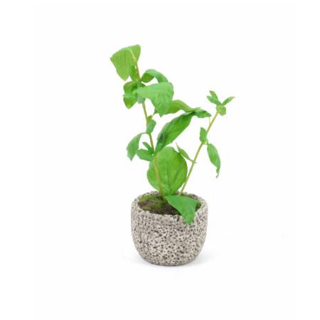Basil in volcanic stone pot web