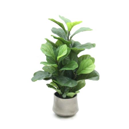 Fiddle leaf bush web image