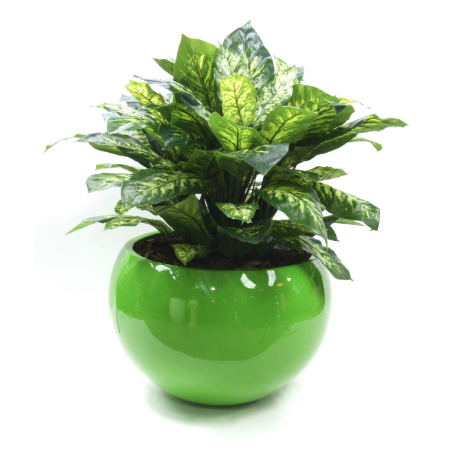 Diffenbacia in green planter