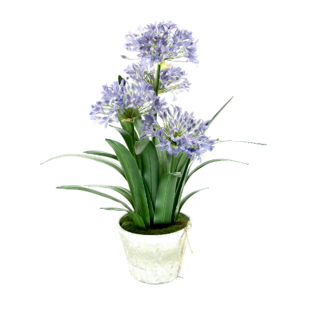 agapanthus in white wash