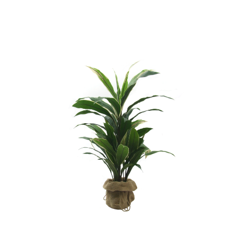 cordyline. 450 x 450 png