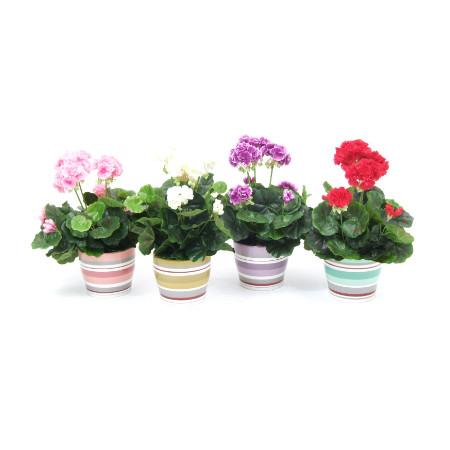 Geraniums in striped pots web image