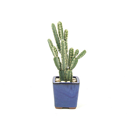 Cactus in small blue pot web