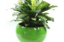 Diffenbacia in green planter