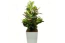 croton-in-white-piza-planter