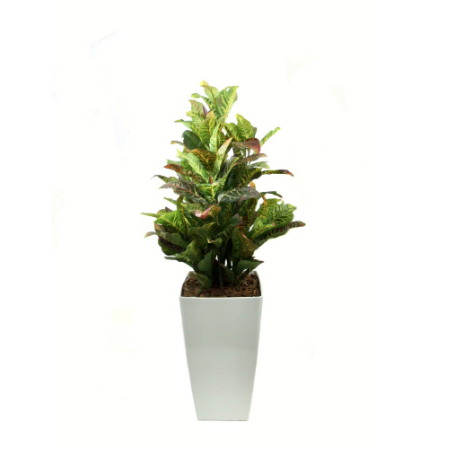 croton-in-white-piza-planter