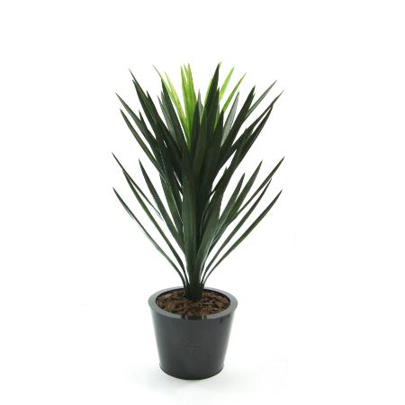 Yucca head