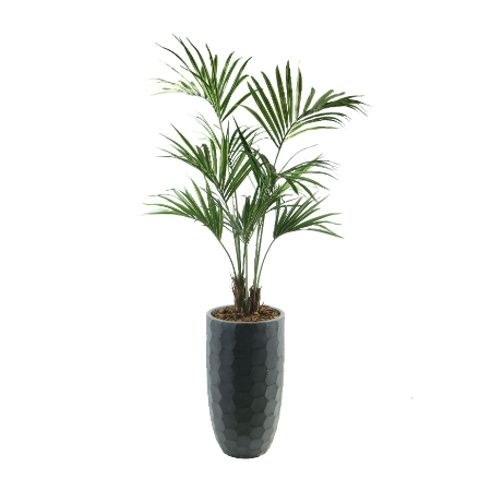 kentia in planter
