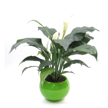 Peace lily in green pot web