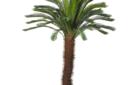 Large Cycas palm