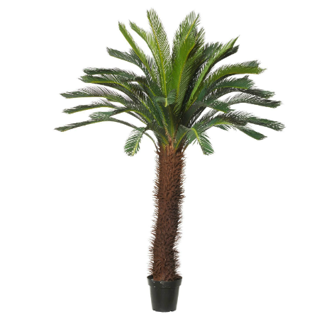Large Cycas palm