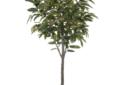 Ficus ali tree