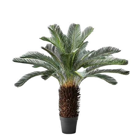 Cycad palm (1)